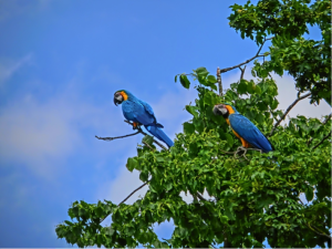 The two wild macaws